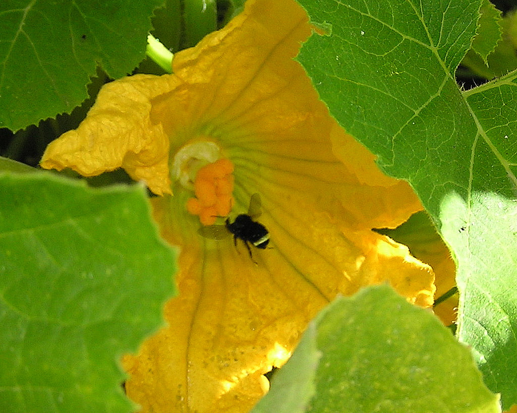 Bee pollinating squash