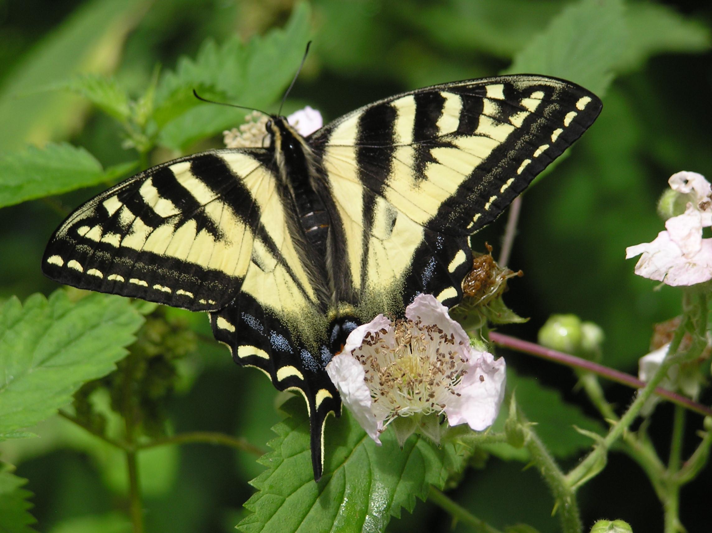 Beautiful Butterfly on blackberries