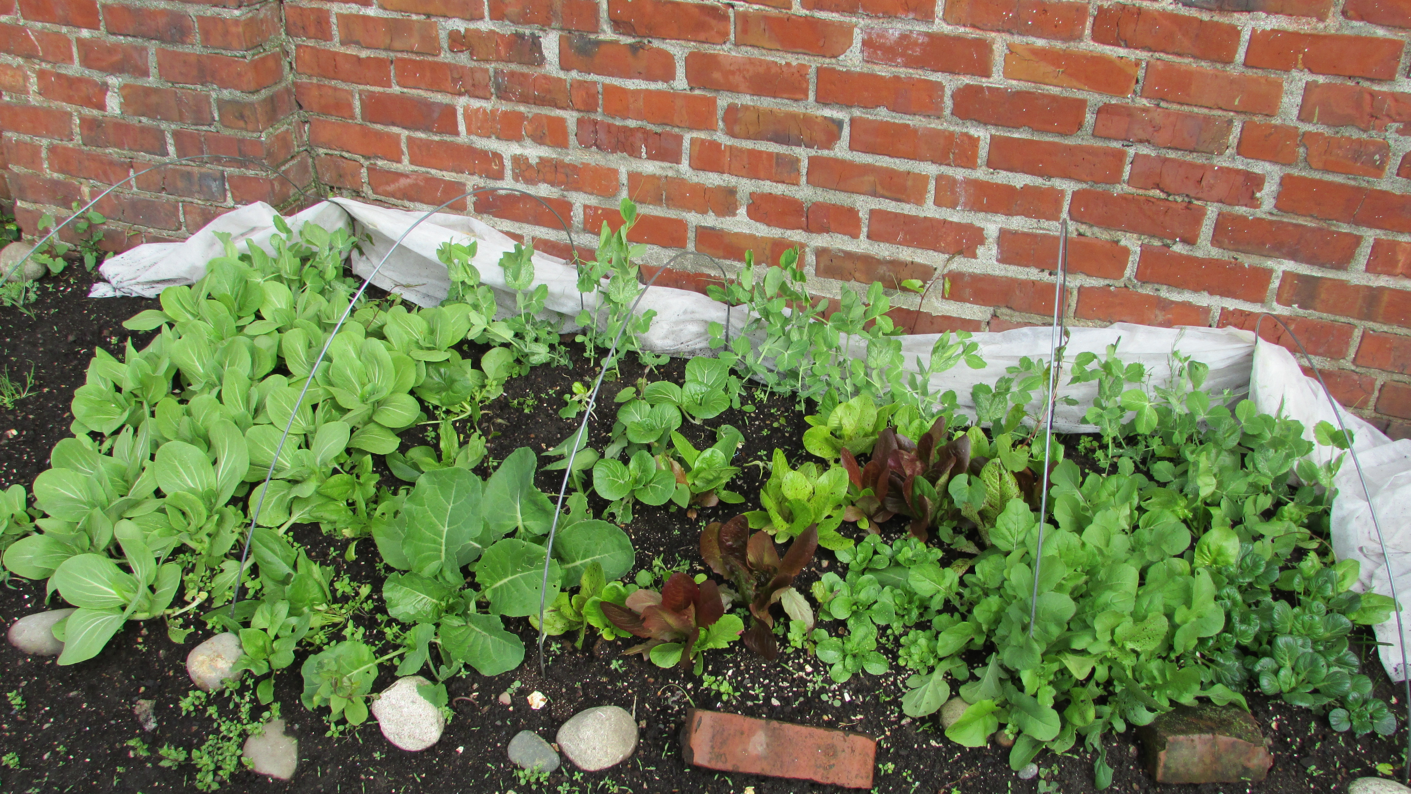 Early garden greens grown under row covers.