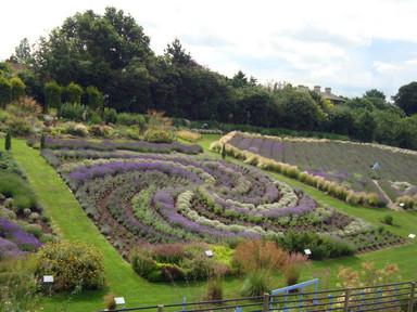 Yorkshire lavedner garden
