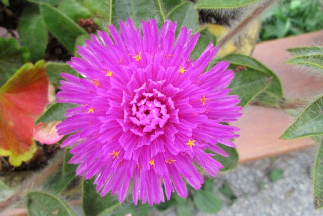 Gomphrena pink zazzle shoing tiny yellow flowers