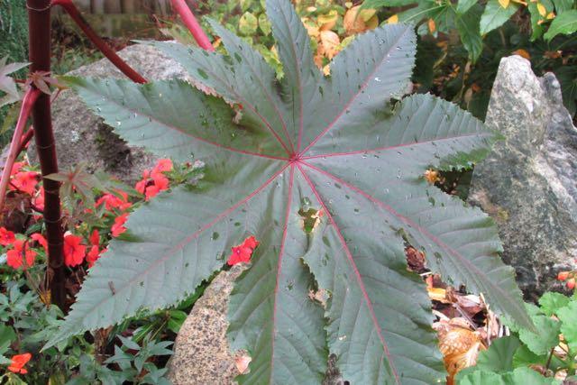 castor oil leaf