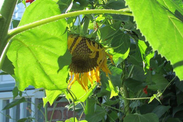 Sunflower hanging low