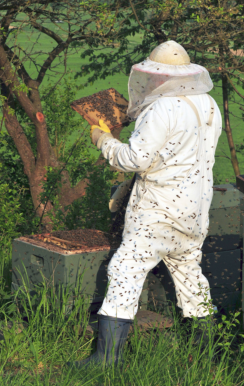 """Beekeeper keeping bees"" by Michael Gäbler. Licensed under CC BY 3.0 via Commons - https://commons.wikimedia.org/wiki/File:Beekeeper_keeping_bees.jpg#/media/File:Beekeeper_keeping_bees.jpg"