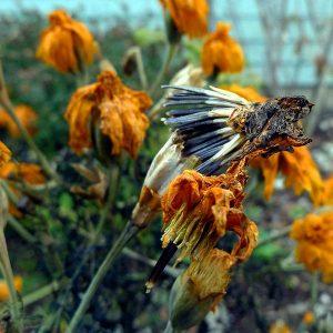 seed.marigold