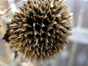seedless.sunflower
