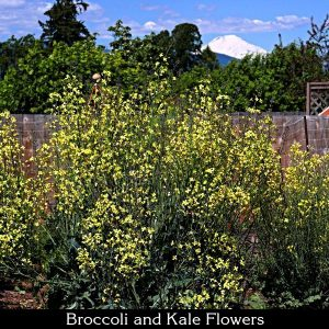 broccoli and kale flowers