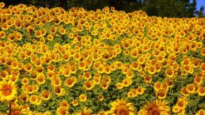 sunflowers-76119 - mandy pixabay