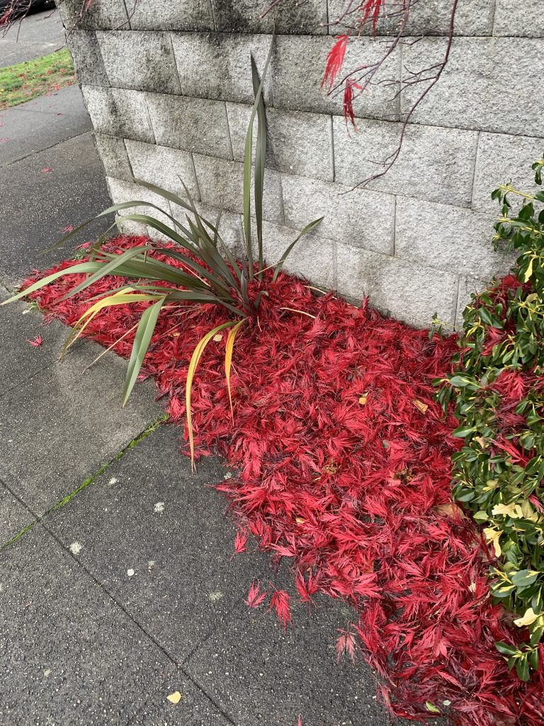 Red carpet - Japanese Maple leaves