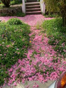 Pathway covered in cherry blossoms