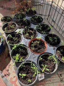 Transplanted seedlings