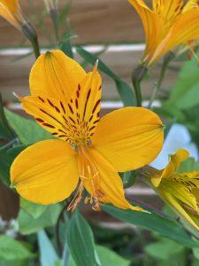 Invasive alomestria lilly