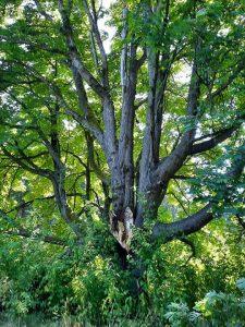 Maple Tree Heart 2 opt